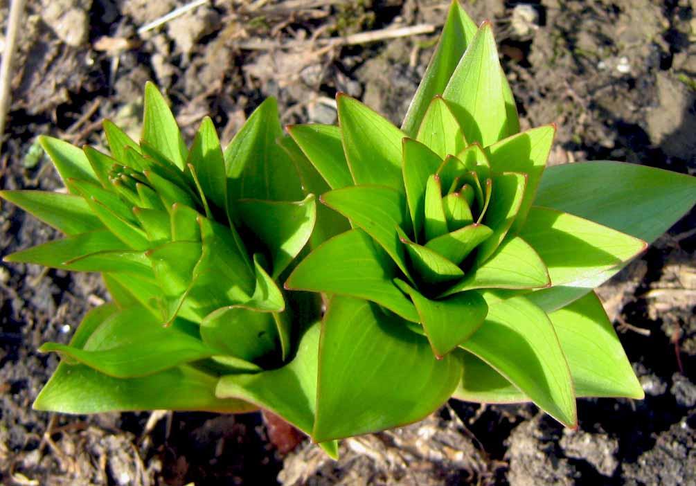nyomuló királyliliom