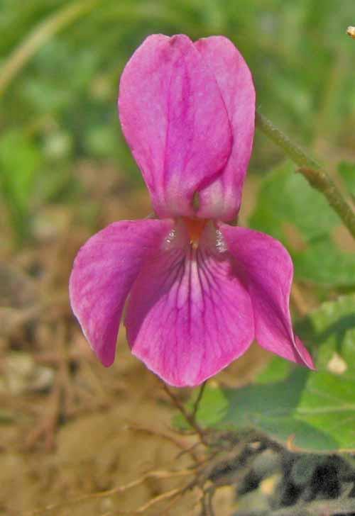 rózsaszín ibolya