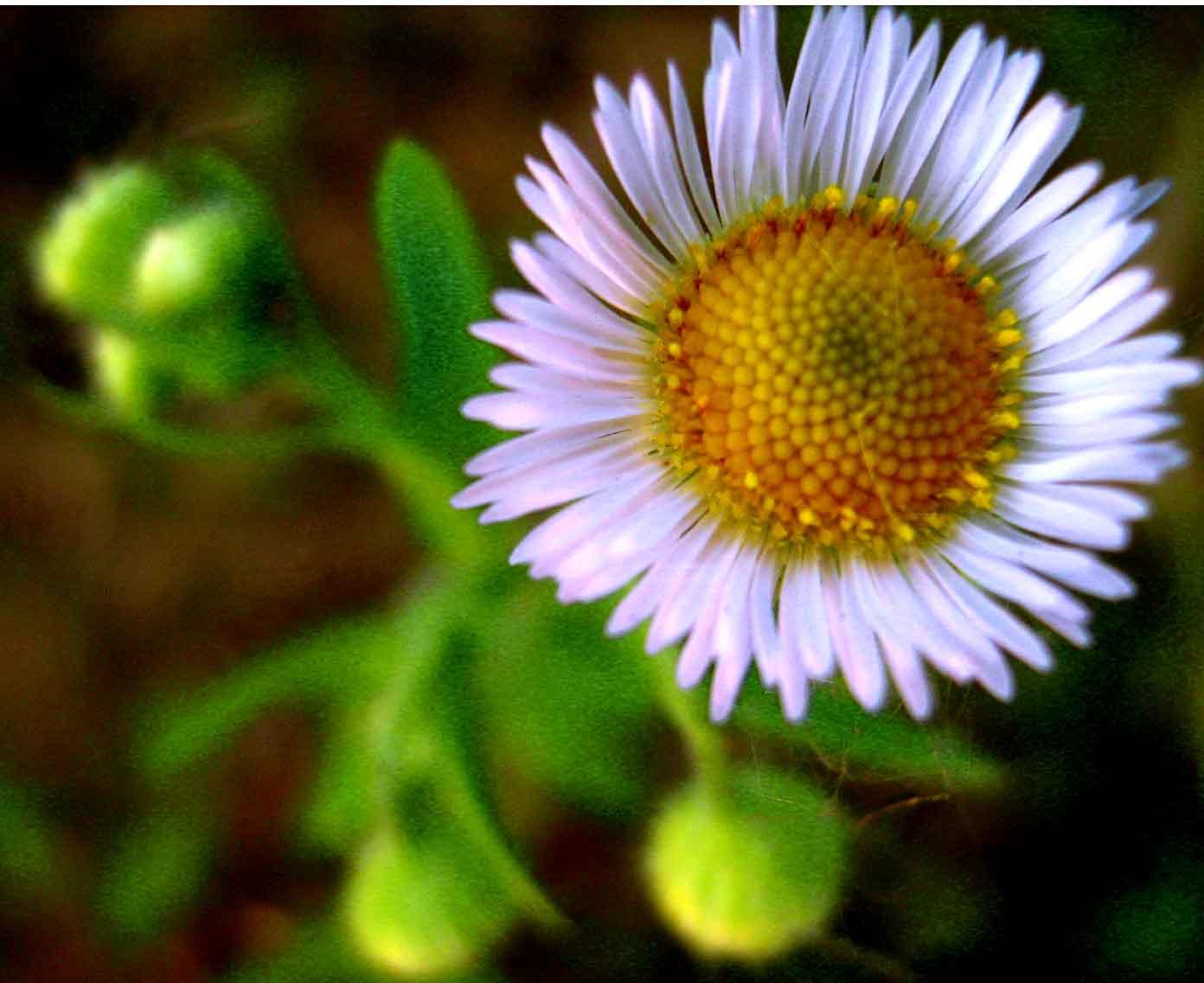 mezei virágocska