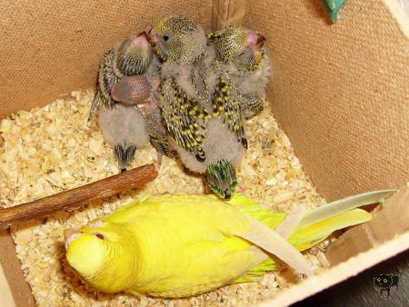 geszter: papag2