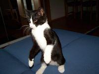 Harci macska