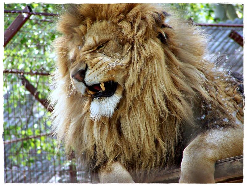 eszeficamodott: Lion - Zoo-Abony