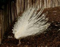 Fehér páva udvarlás