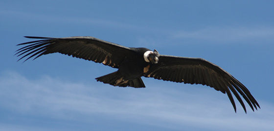 Kesportal: Condor01